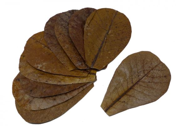 Catappa leaves for sale