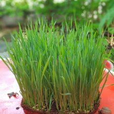 Microgreen Trays Organic and green