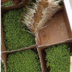 Hemp microgreen pads
