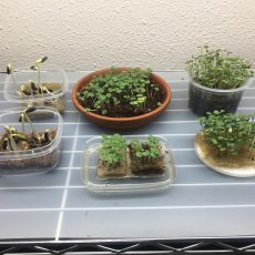 Arugula, basil, and sunflower microgreen