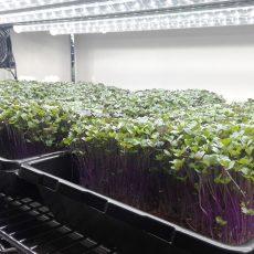 Purple kohlrabi microgreens