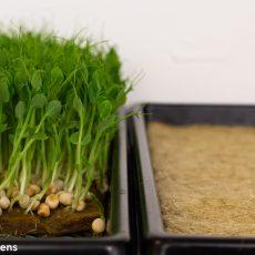 Peas in microgreeens 1020 Tray – 8 chains